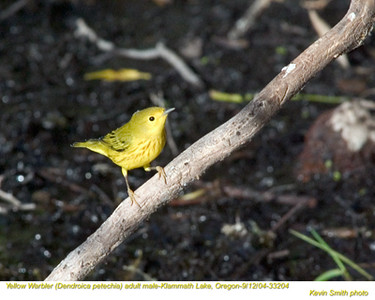 YellowWarblerM33204.jpg