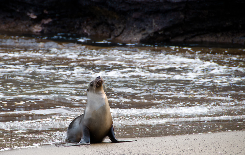 Male Sea Lion with attitude at Cormorant Point, Floreana Island