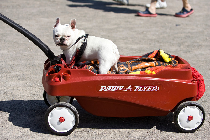Sophie, a french bulldog, rides in style at the Sacramento Jazz Festival