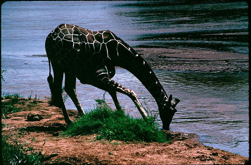reticulated giraffe in Samburu country
