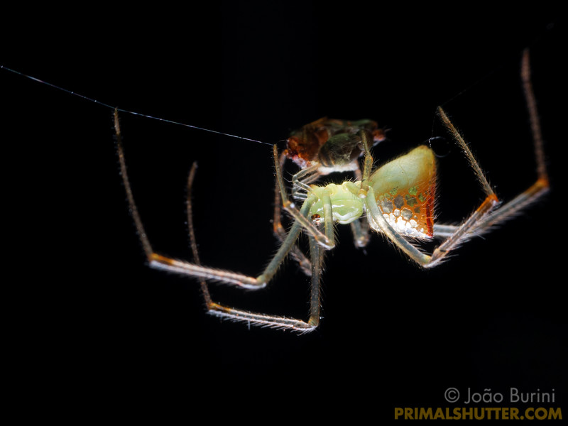 Mirror spider eating prey