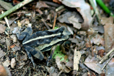 Forrer's Grass Frog