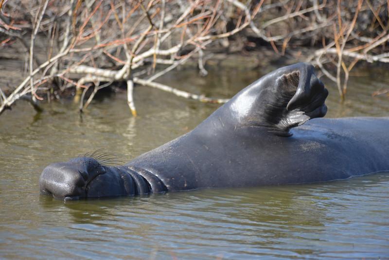 ano-nuevo-elephant-seals-2013 60.jpg