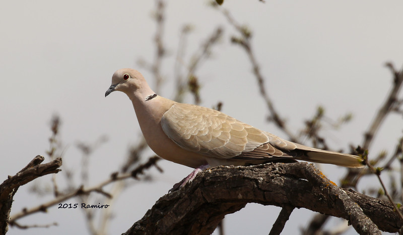 Eurasian Collared Dove 3-14-15 301.jpg