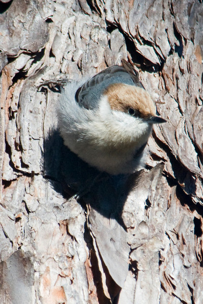 Nuthatch - Brown-headed - Apalachicola National Forest - FL