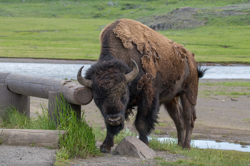 Sometimes you just need to scratch that itch. #Roadtrip Day 43. I'm on a 40+ day, 5,000+ mile #roadtrip of the western United States. Yellowstone National Park