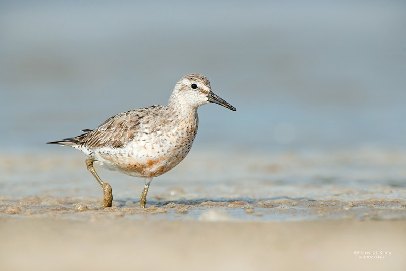 Red Knot, Shoalhaven Heads, NSW, Sept 2014.jpg