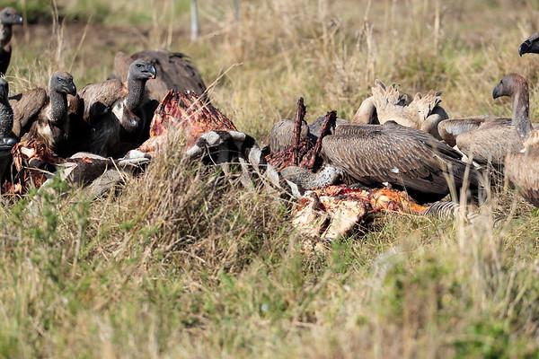 Vulture Mara Reserve Kenya 2017