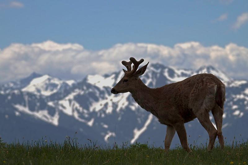 Mountain Deer