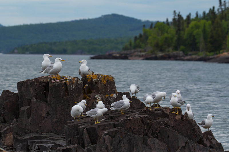 Seagulls Lake Superior-6310.jpg