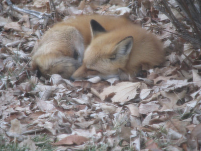 Feb 09 - Willy the Red Fox (Zorro)