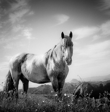Black and White Horse 1