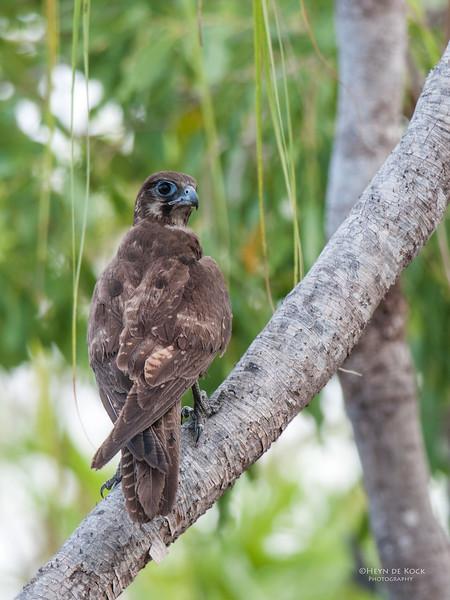 Brown Falcon, Kakadu NP, NT, Oct 2010 copy.jpg