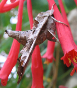 Lettered Sphinx Moth (Deidamia inscripta) on Trumpet Honeysuckle
