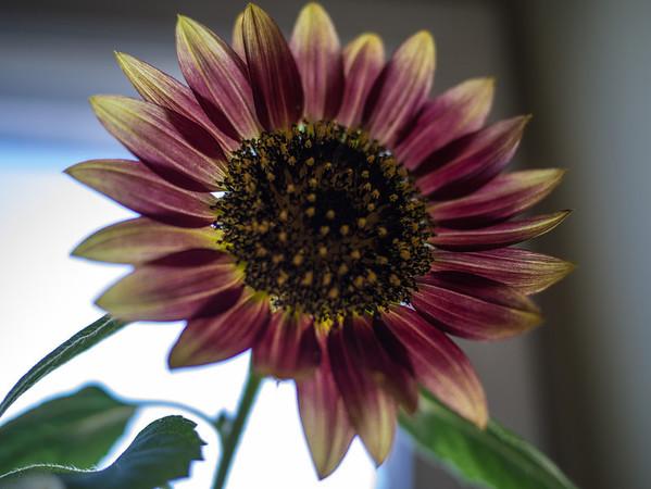 Office Sunflower (2012)