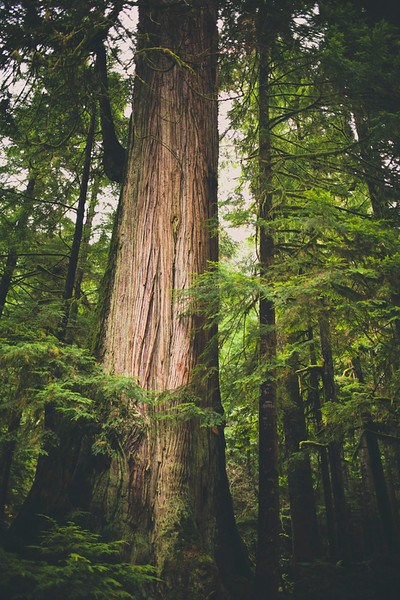 A large Cedar Tree stands out in the Temperate Rainforest, British Columbia, Canada.