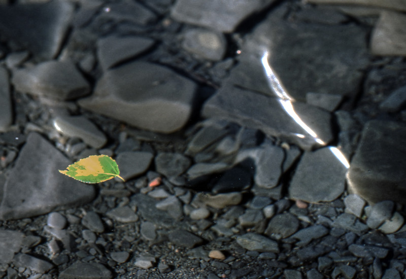 Leaf Floating on Water - Ontario, Canada - 1987