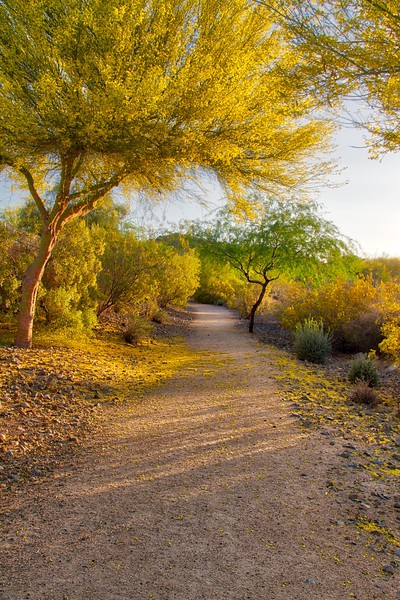 Arizona Palo Verde Tree in Bloom