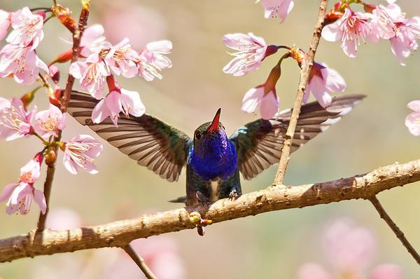 Beija-flores na cerejeira