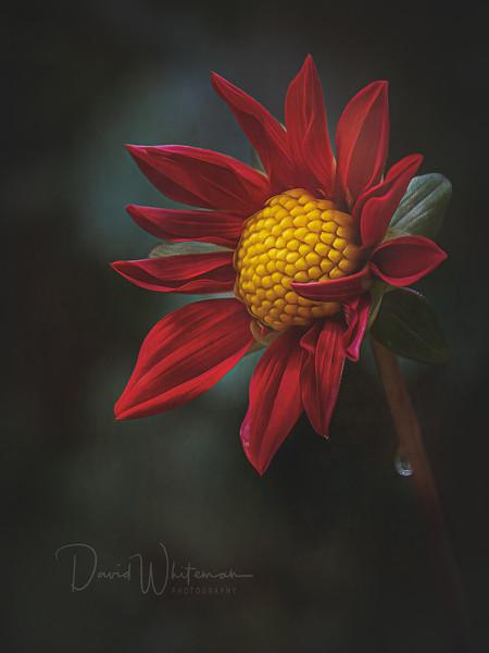 Cone Flower_-2.jpg