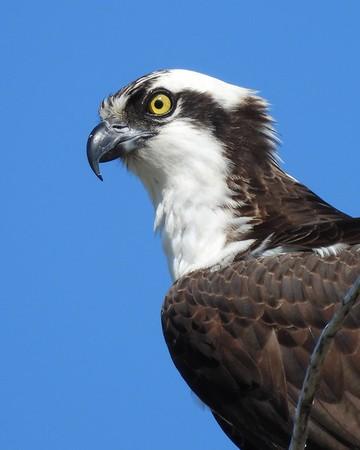 Birds of Prey, Owls, Vultures