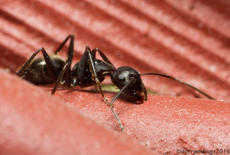 An Eastern carpenter worker ant, Camponotus pennsylvanicus, on the back of my house (Iowa, USA). Carpenter ants don't eat wood, but rather remove it to dig their tunnels which can cause structural damage.