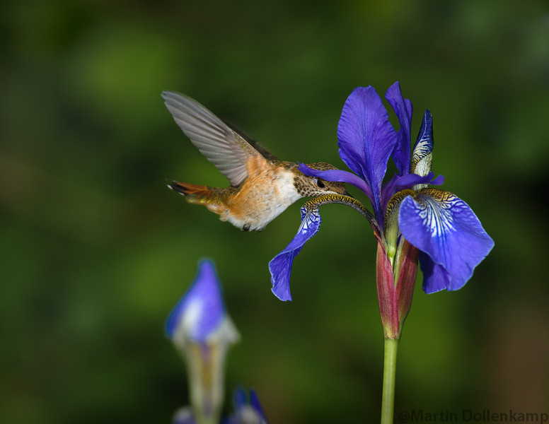 Juvenile Rufous Hummingbird feeding on some Siberian Iris.