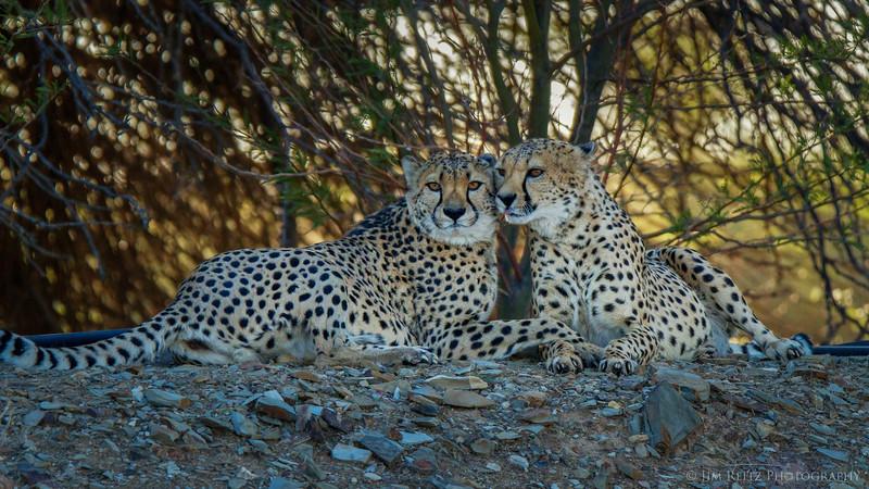 (captive) Cheetahs - game reserve near Keemanshoop, Namibia