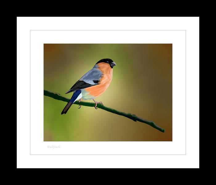 Bullfinch 1.jpg