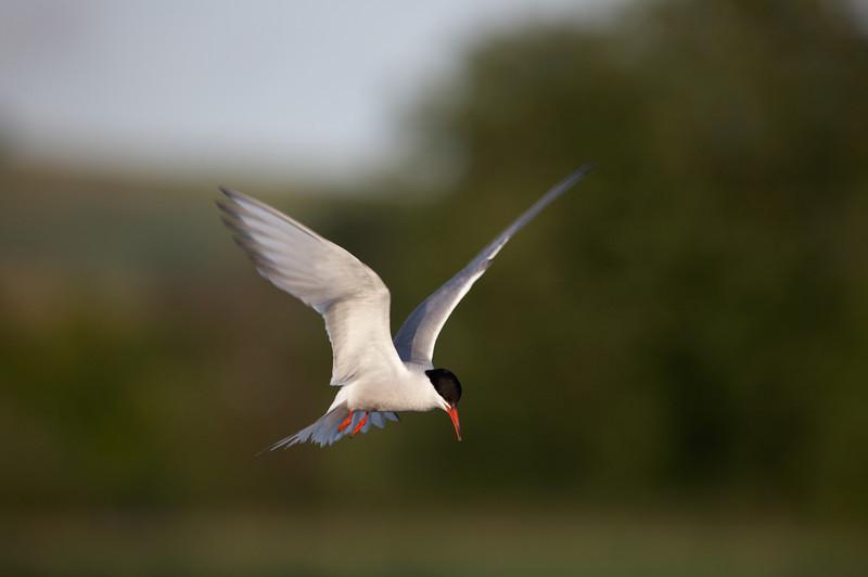 Common Tern (Sterna hirundo) - 4104.jpg