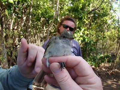 2013 Tropicbird Monitoring Saba