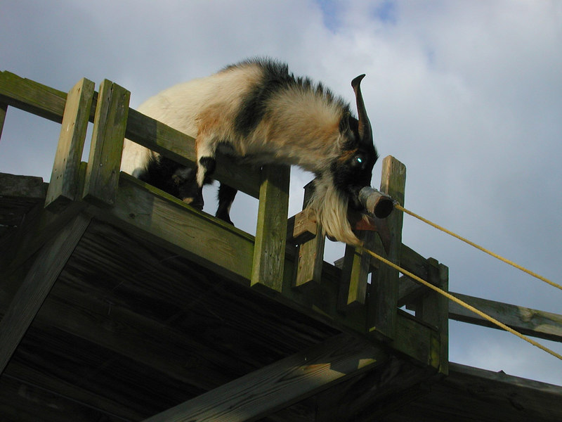 ... a hungry goat.