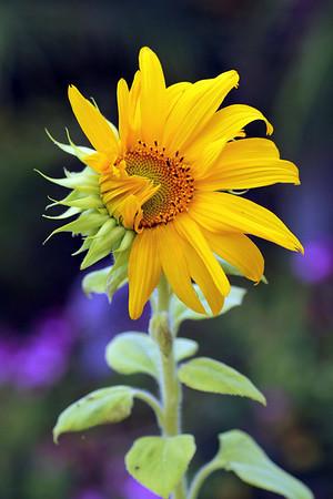 All Sunflowers