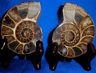 Split Ammonites 218