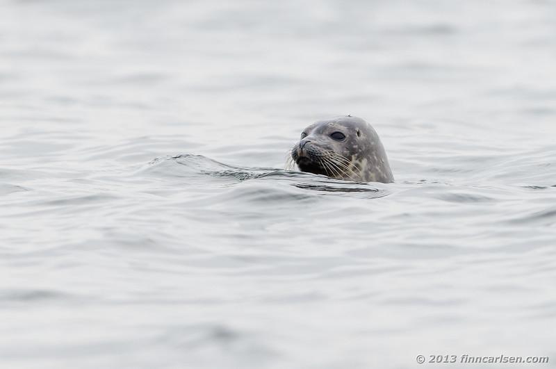 Spættet sæl (Phoca vitulina - Harbor Seal)
