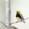 black-throated green warbler, spring male singing, Forest Park,NY