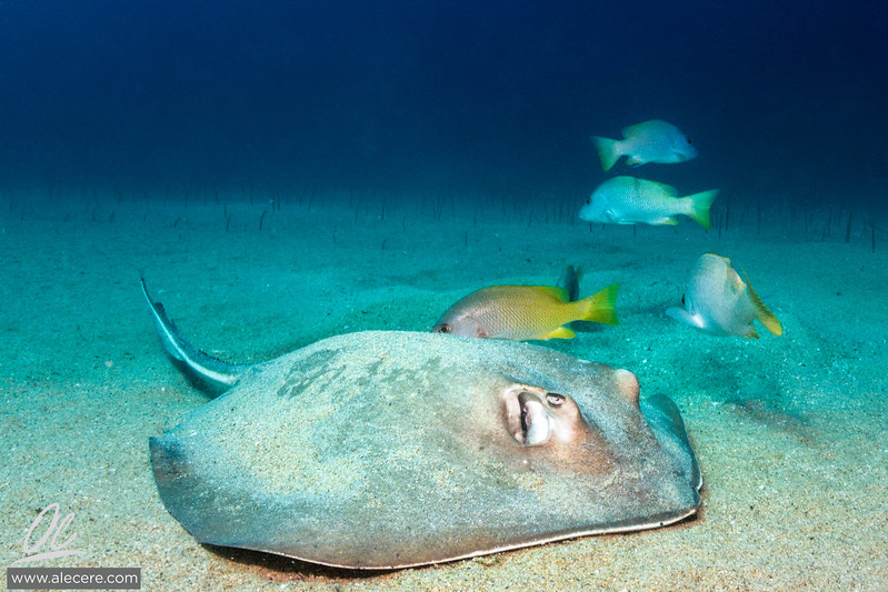 Large stingray feeding