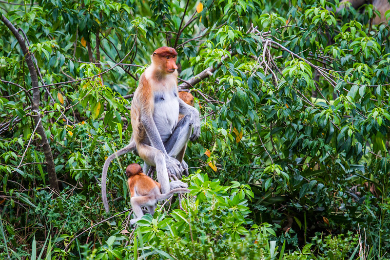 Female Proboscis monkey (Nasalis larvatus) and young, Kinabatangan River, Sabah, Borneo.