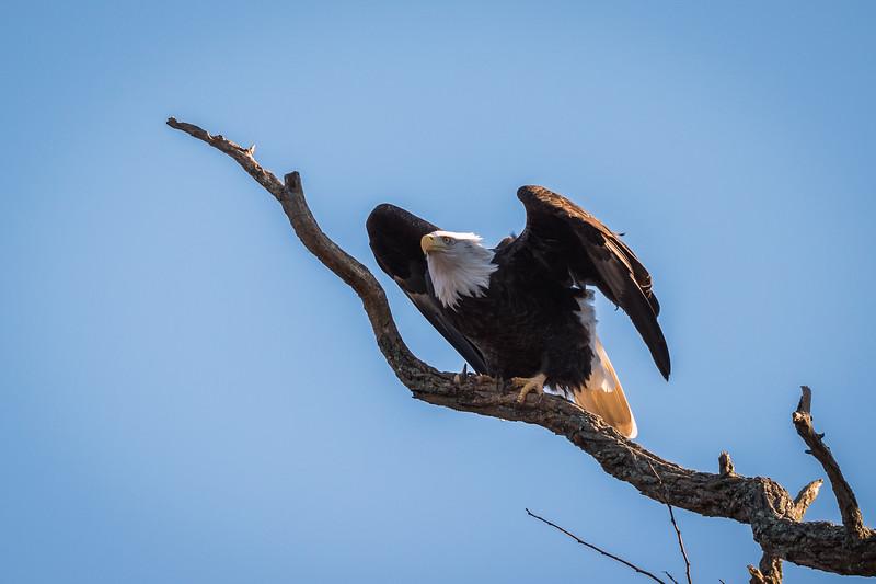 2016 1-30 Bald Eagles Lackawaxen PA-1.jpg