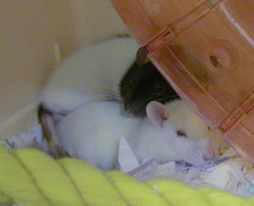 Dannys Rats