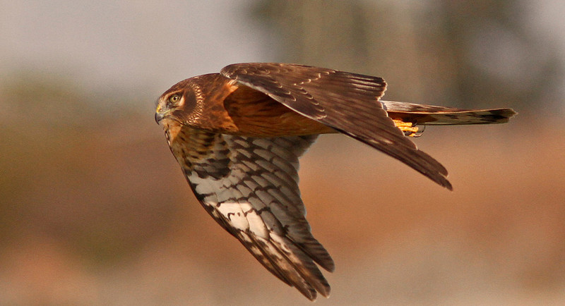 Female harrier, Las Gallinas
