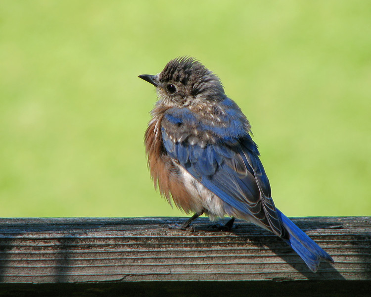 bluebird_fledgling_6275.jpg