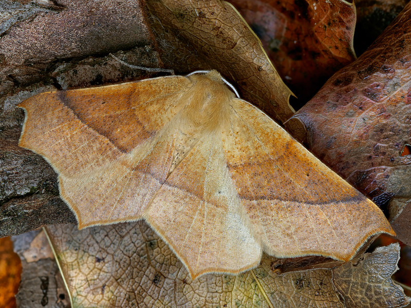 Falcate Tetracis Moth