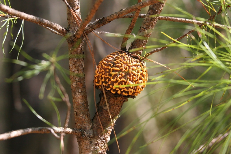growth on pine tree