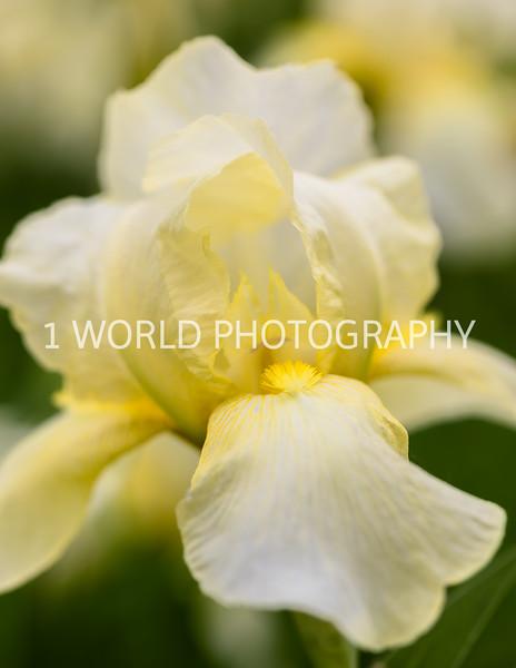 201906012019_Spring Irises and Lilacs096--165.jpg