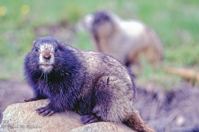 Marmots of Blackwall Peak