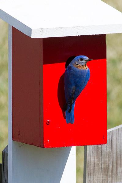 bluebird_8615984531_o.jpg