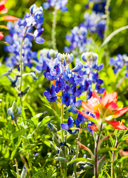 2016_4_9 Texas Wildflower Shoot-8904.jpg