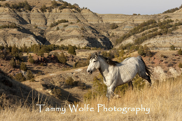 Horses, Feral  - Theodore Roosevelt NP