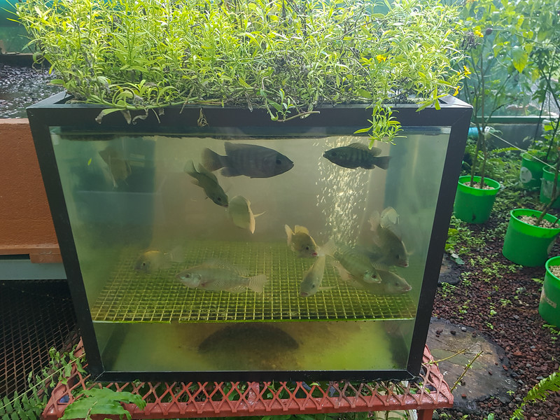 Hydroponic garden with tilapia fish